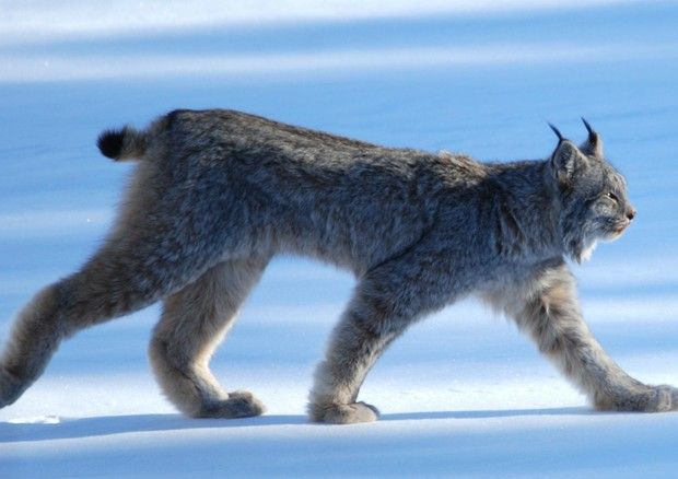 Lince canadese (Foto Keith Williams - CC BY 2.0) © ANSA